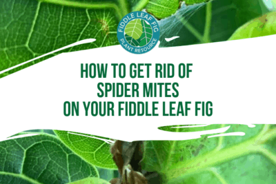 Wondering how to get rid of spider mites on your fiddle leaf fig? Click to see what spider mites are and how to get rid of them safely and quickly.