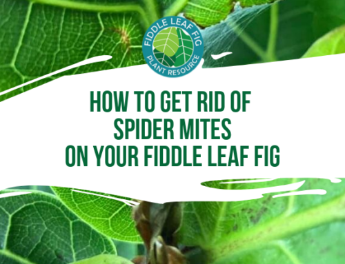 How to Get Rid of Spider Mites on Your Fiddle Leaf Fig
