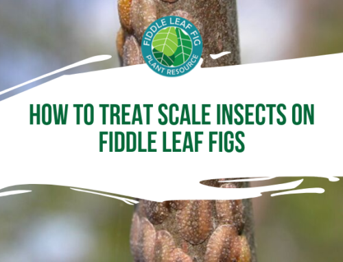 How to Treat Scale on Fiddle Leaf Figs