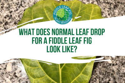 Wondering if you have normal leaf drop for a fiddle leaf fig? Click to learn what normal leaf drop looks like and when to be concerned about your plant.