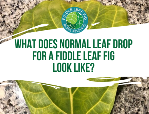 What Does Normal Leaf Drop for a Fiddle Leaf Fig Look Like?