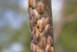 Wondering how to treat scale on fiddle leaf figs? Click to learn what scale insects are and how best to rid your fiddle leaf fig of scale insects.