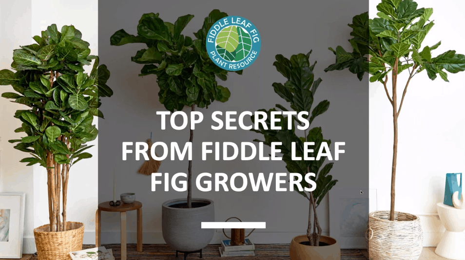 Top Secrets from Fiddle Leaf Fig Growers