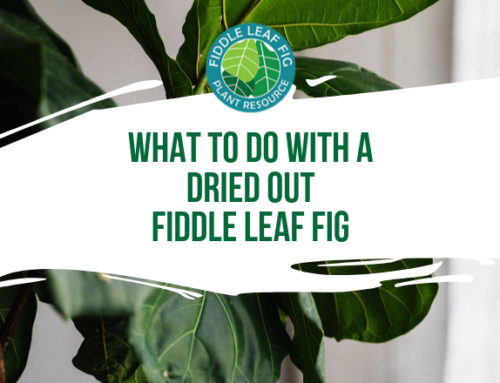Dried Out Fiddle Leaf Fig – What To Do Next?