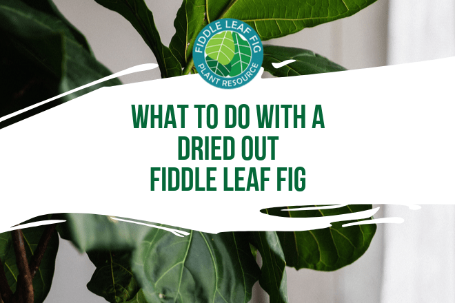 Dried Out Fiddle Leaf Fig - Featured Image