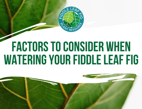 Factors to Consider When Watering Your Fiddle Leaf Fig & How to Prevent Over-watering