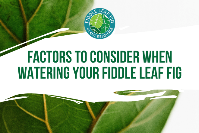 Learn about the factors to consider when watering your fiddle leaf fig. Also learn how best to prevent overwatering your fiddle leaf fig to keep it healthy.