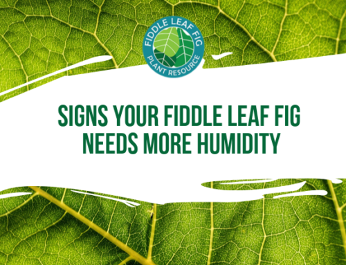 Signs Your Fiddle Leaf Fig Needs More Humidity
