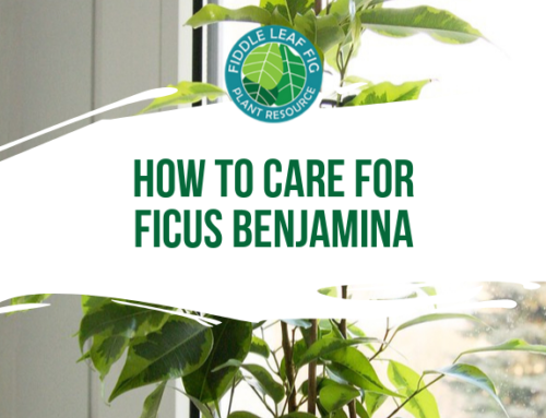 How to Care for Ficus Benjamina