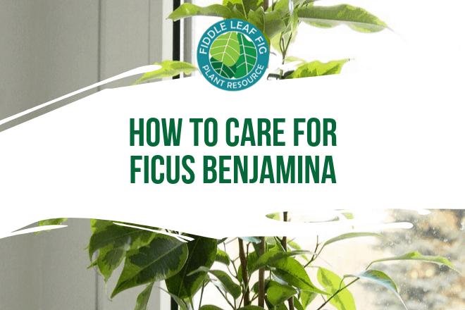 Do you have a Ficus Benjamina plant? Curious how to keep it alive? Click to read how to care for ficus benjamina and grow a healthy plant.