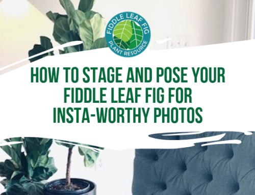 Gorgeous, Dahling! 7 Tips on How to Stage and Pose Your Fiddle Leaf Fig for Insta-Worthy Photos