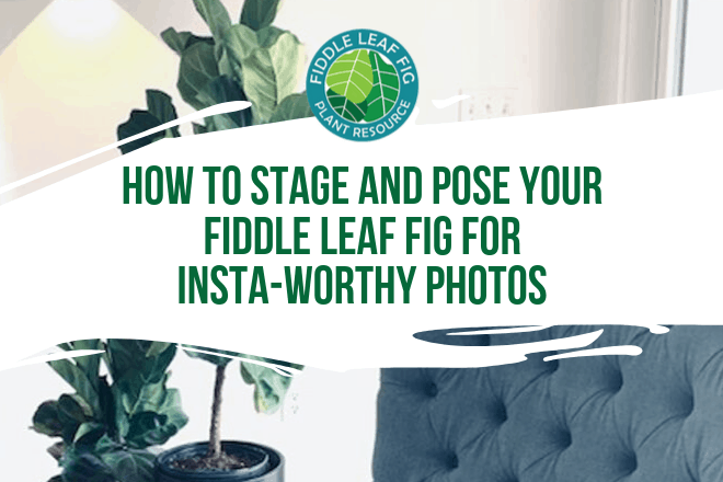 Do you want to take Insta-Worthy photos of your fiddle leaf fig? Click to learn how to stage and post your fiddle leaf fig for the ultimate shot.