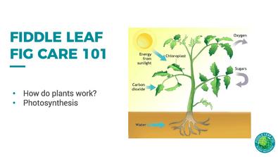 fiddle leaf fig care 101
