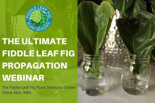 fiddle leaf fig propagatio webinar
