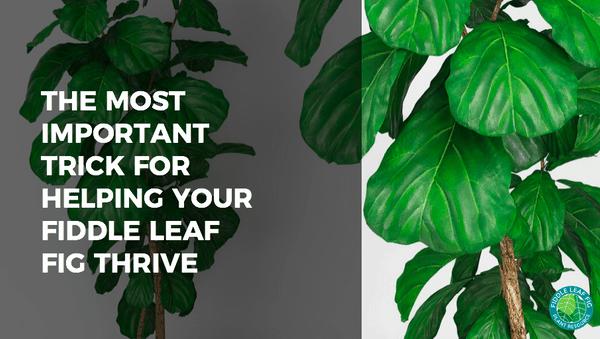 fiddle leaf fig thrive