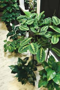 Wondering if your fiddle leaf fig needs more humidity? Click to learn the effect humidity has on your fiddle leaf fig plants and what to do.