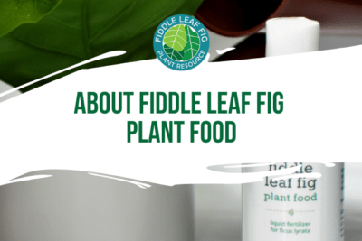 Learn more about fiddle leaf fig plant food by watching this quick video. Your fiddle leaf fig needs specialized fertilizer to help it grow and thrive.