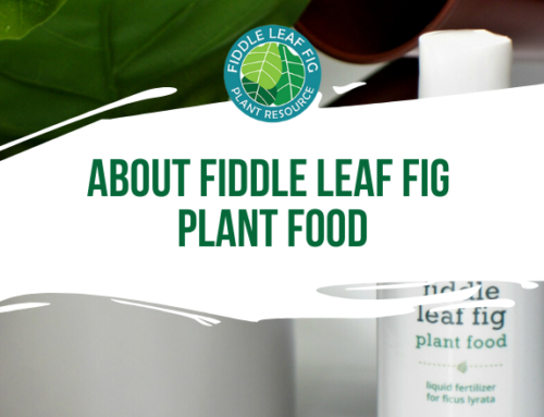 About Fiddle Leaf Fig Plant Food