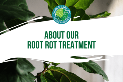 Is your plant suffering from root rot? Click to watch a video and learn more about our root rot treatment. Rid your fiddle leaf fig plant of root rot today.