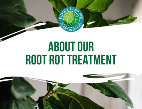 About Our Root Rot Treatment