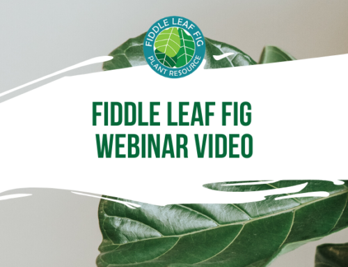 Fiddle Leaf Fig Webinar Video