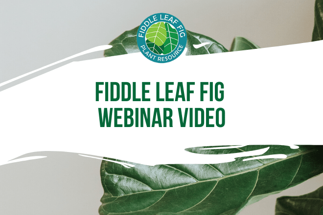 Click to read more about the Fiddle Leaf Fig Webinar. Join us for an exclusive webinar to learn everything about taking care of your fiddle leaf fig plant!