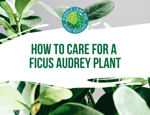How to Care for Ficus Audrey