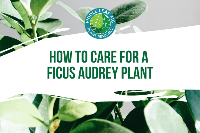 How to Care for a Ficus Audrey Plant - Featured