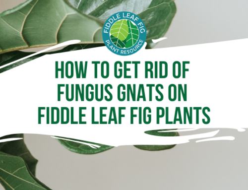 How to Get Rid of Fungus Gnats on Fiddle Leaf Fig Plants