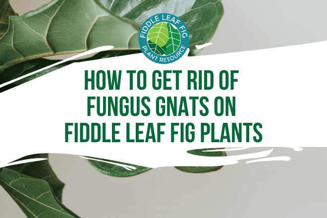 Want to rid yourself of fungus gnats on fiddle leaf fig plants? Click to learn how to get rid of fungus gnats on fiddle leaf fig plants and trees.