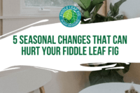 As the seasons change it is important to know what can affect your fiddle leaf fig. Learn more about seasonal changes that can hurt your fiddle leaf fig.