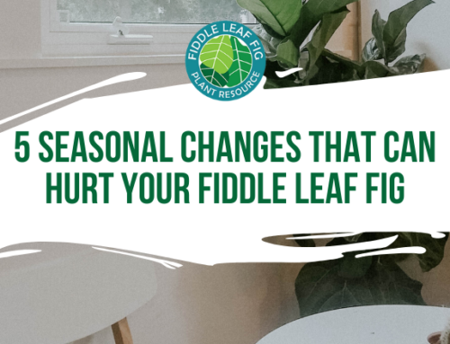 5 Seasonal Changes That Can Hurt Your Fiddle Leaf Fig