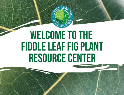 Welcome to the Fiddle Leaf Fig Plant Resource Center