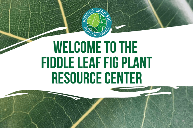 Welcome to the Fiddle Leaf Fig Plant Resoure Center. Learn more about our website and resources for fiddle leaf fig owners. Learn how to grow a happy plant!