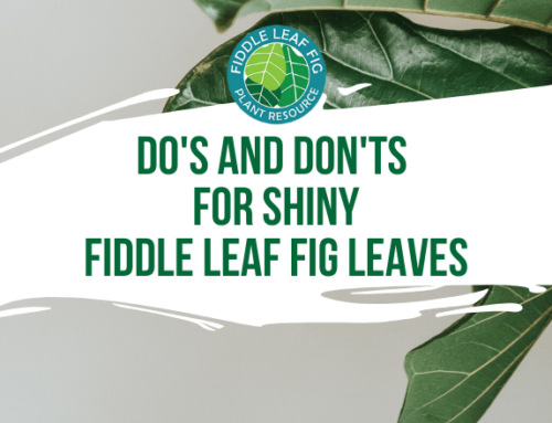 Do's and Don'ts for Shiny Fiddle Leaf Fig Leaves