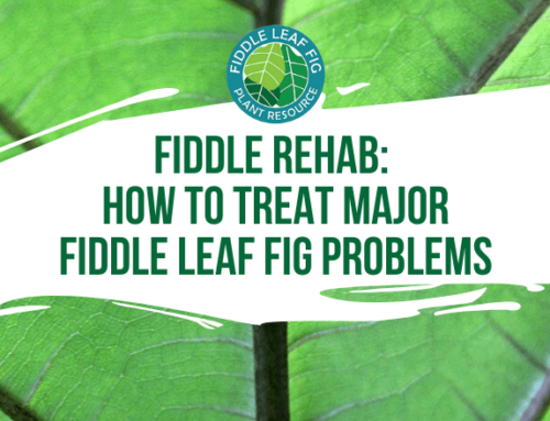 Fiddle Rehab: How to Treat Major Fiddle Leaf Fig Problems