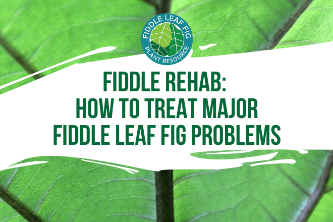Help your tree bounce back after insects, an infection, after your pet used it as a litter box. Click to read how to treat major fiddle leaf fig problems.