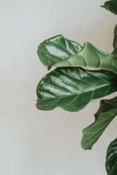 Do you want shiny fiddle leaf fig leaves? Click and read the things you should and should not do to get healthy, shiny fiddle leaf fig leaves.