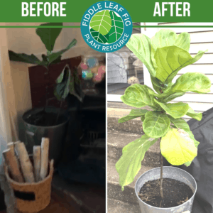 Click to view the best fiddle leaf fig before and after photos. Each plant used our Fiddle Leaf Fig Plant Food. See the amazing results!