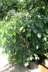 Ficus Benjamina fig tree houseplants