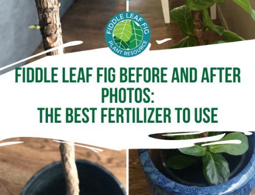 Fiddle Leaf Fig Before and After Photos: The Best Fertilizer for Fiddle Leaf Figs