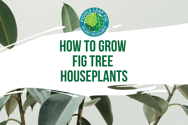 Fig tree houseplants are simple to grow inside. Click to learn which fig tree houseplants to consider adding to your collection and growing tips for each.
