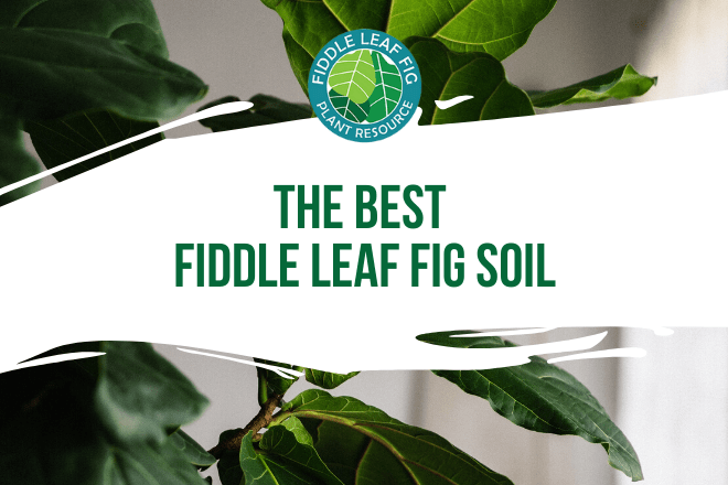 The Best Fiddle Leaf Fig Soil Featured