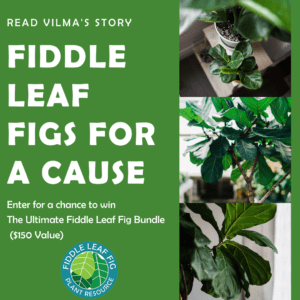 Fiddle Leaf Figs for a Cause