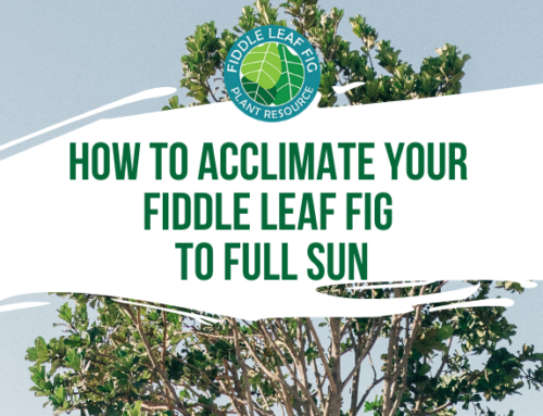 How (and Why) to Acclimate Your Fiddle Leaf Fig to Full Sun