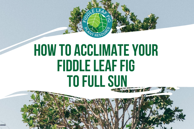 Do you want your fiddle leaf fig to get the benefit of full sun? Learn how to acclimate your fiddle leaf fig to full sun and why you should try it!