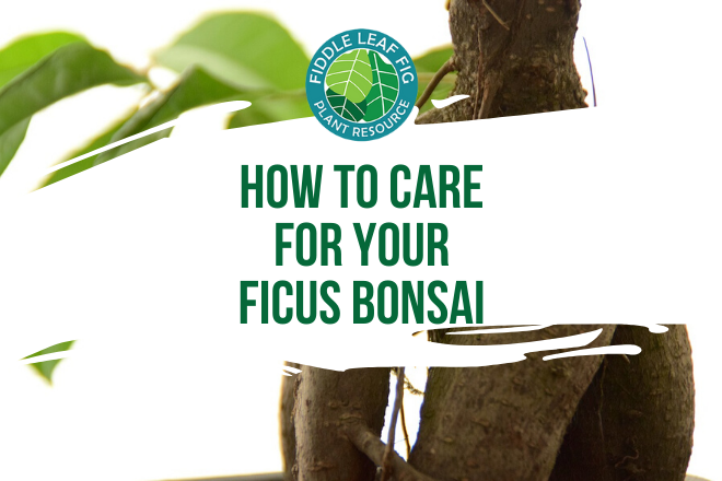 Do you have a ficus bonsai? Curious the best way to care for it? Discover how to care for your ficus bonsai so it can grow healthy and strong.