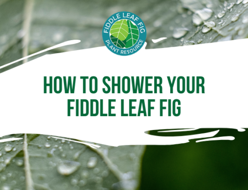 How to Shower Your Fiddle Leaf Fig