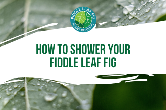 Are you wondering how to shower your fiddle leaf fig? Learn the best tips to giving your fiddle leaf fig a shower and how to keep it healthy.