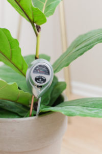 Moisture Meter: Do you suspect your fiddle leaf fig is drying out? Read about the 4 sneaky reasons why your fiddle leaf fig is drying out and how to correct it.